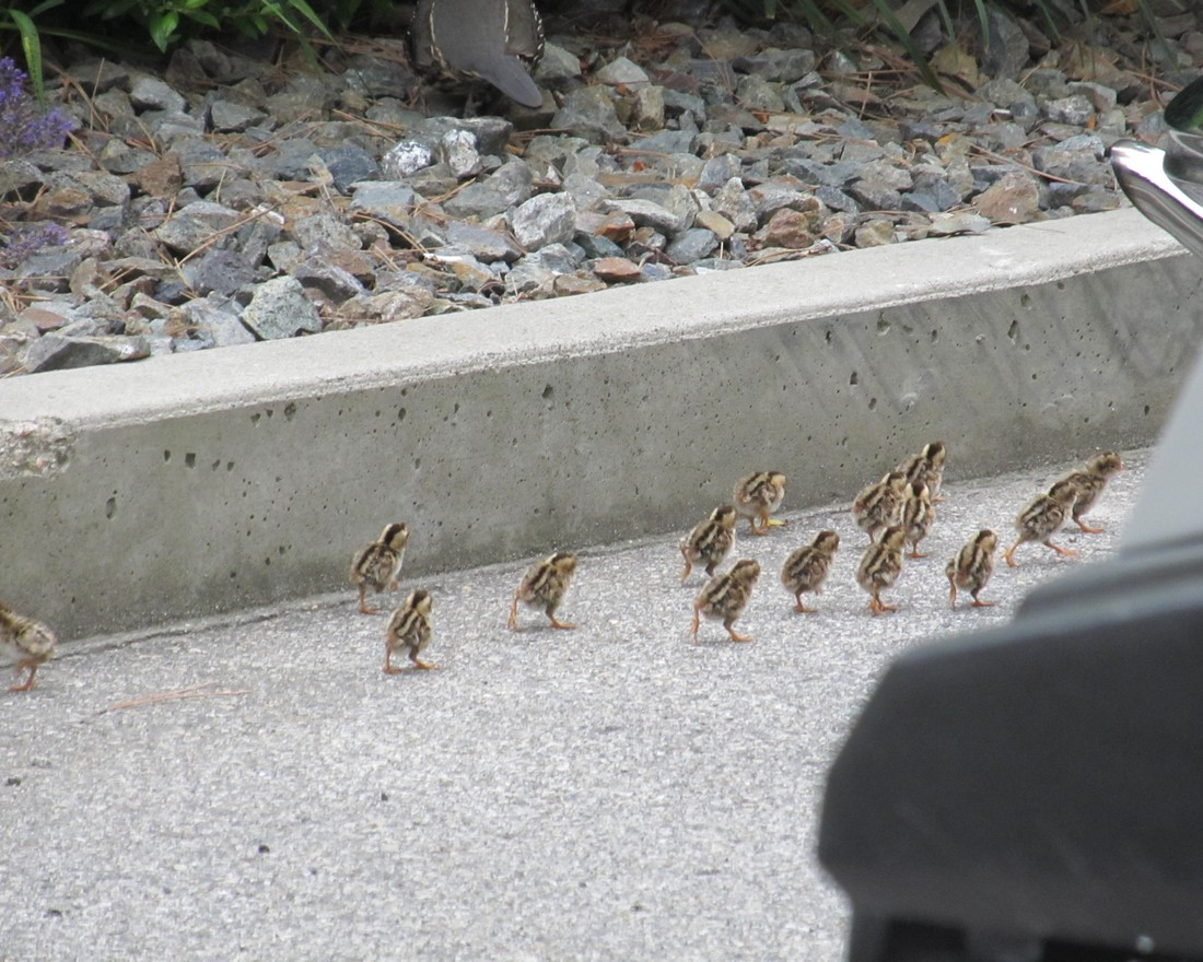 There were about 15 little chicks looking for Mom